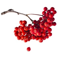 Bunch of red rowan berries isolated on white