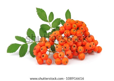 Stock Photo Bunch of red rowan isolated on white
