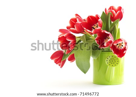 bunch of red tulips isolated on white background