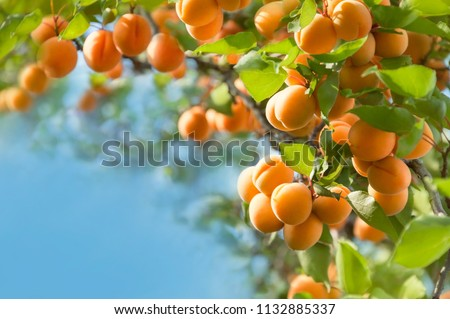 Bunch of ripe apricots hanging on a tree. Ukraine.