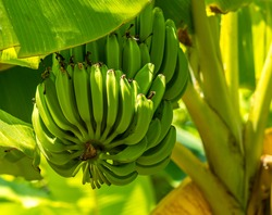 Bunch of ripe bananas on tree. Agricultural plantation