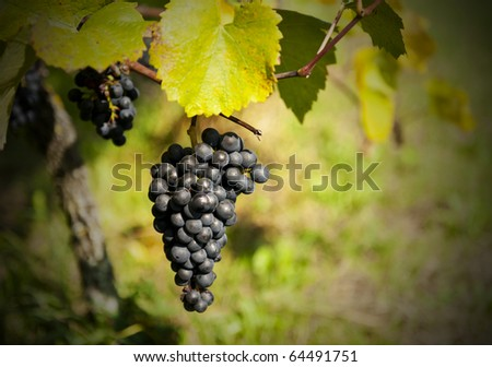 Bunch of ripe grapes in the vineyard just before the harvest. Shallow DOF