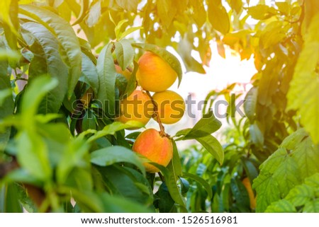 bunch of ripe peaches on tree surrounded by foliage #1526516981
