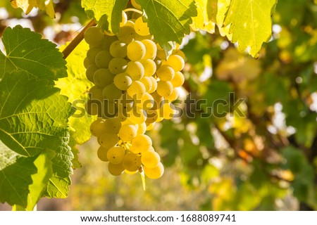 bunch of ripe pinot gris grapes growing on vine in organic vineyard with copy space on right Foto stock ©