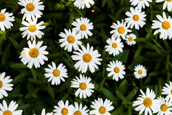Bunch of Shasta Daisy flowers - high contrast background