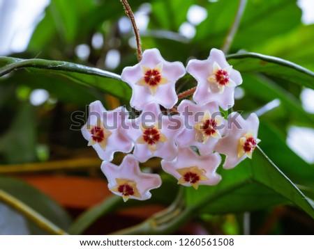 Free Photos Pink Star Shaped Flowers Are Beautiful Avopix