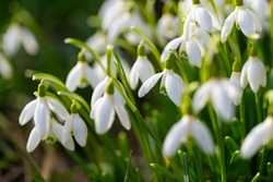 Bunch of Snowdrop early bloomer flowers macro close up with white petals in bright springtime sunshine in Sauerland Germany. Galanthus is a small bulbous perennial herbaceous plant.
