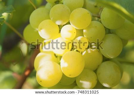 Bunch of sun lighting grapes macro #748311025