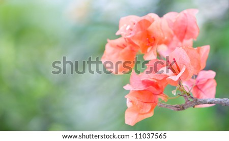 Bunch of tropical paper-like bougainvillea flower at end of a branch.