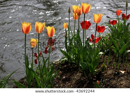 Bunch of tulips in front of water #43692244