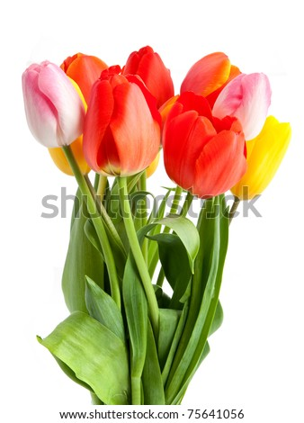 Bunch of tulips isolated on a white background
