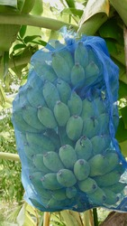 Bunch of unripe bananas cover with net to protect insect hanging on banana tree