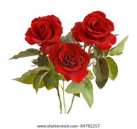 Bunch of velvet red roses isolated on white