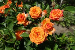 Bunch of vibrant orange flowers of roses in August