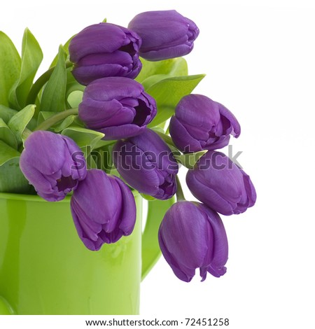 bunch of violet tulips