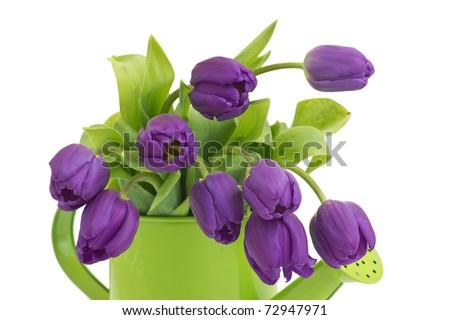 bunch of violet tulips