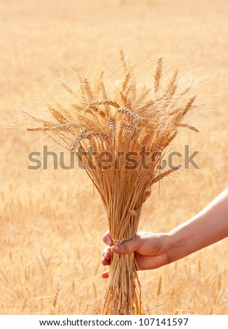 bunch of wheat ears in hand