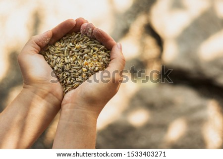 Bunch of wheat seed in a person hands
