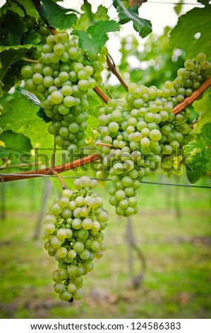 Bunch of white Wine Grapes, taken with Nikon D700