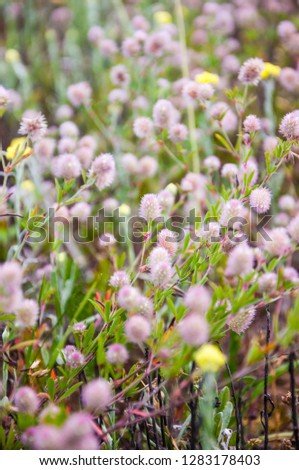 Bunch of wild blooming Trifolium arvense flowers, commonly known as hares-foot clover, rabbitfoot clover, stone clover or oldfield clover, is a flowering plant in the bean family Fabaceae