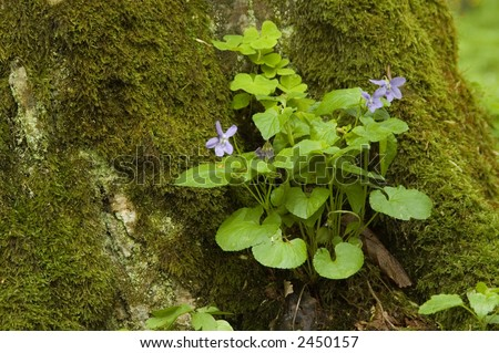 Bunch of wood violets against mossy background springtime