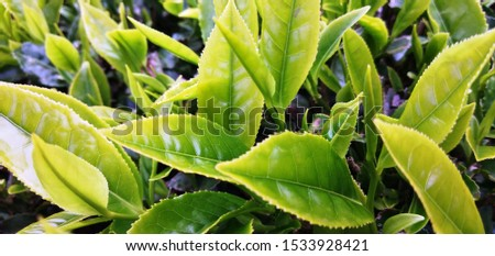 Bunch of yellow and green color tea leaves in tea garden