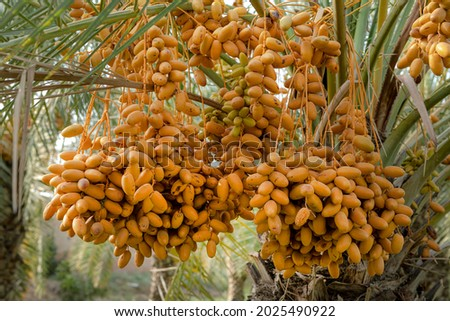 Bunch of yellow dates on date palm ,Dates palm branches with ripped fruit, Close-Up Of Raw Dates On Dates Tree