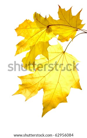 Bunch of yellow maple leaves isolated