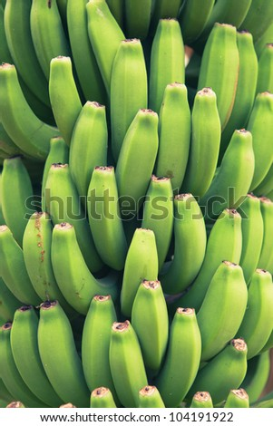 bunch of young green bananas