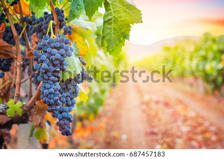 Bunche of grape in the rows of vineyard at sunset