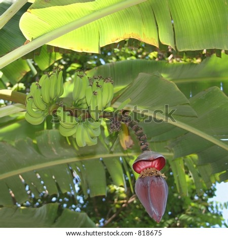 Bunches of Apple Bananas (Musa-Manzano) ready for picking in the Hawaiian Islands