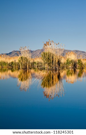 Bunches of Cat Tails Reflecting on Lake