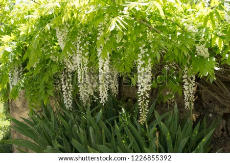 Bunches of Chinese wisteria, ( Wisteria sinensis) or Wisteria sinensis 'Alba' racemes of pure white, pea like flowers with green leaves #1226855392