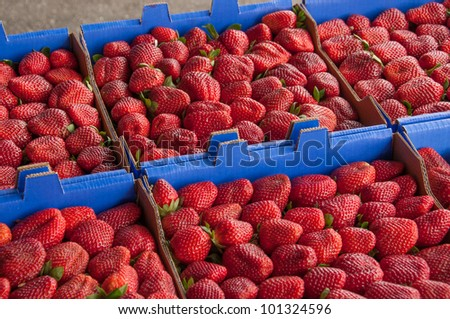 Bunches of fresh strawberries in boxes ready to be delivered to the market