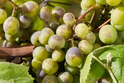 Bunches of grapes affected by powdery mildew or oidium. Rotten grapes affected by fungal disease.