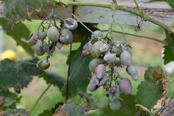 Bunches of grapes affected by powdery mildew or oidium with yellow leaves. Rotten grapes affected by fungal disease. Diseases of grapes in a summer cottage.