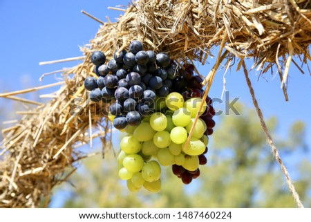 Bunches of grapes and a bunch of straw.
