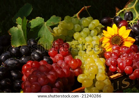 Bunches of grapes and sunflowers in a vintage wooden fruit box picked fresh from the garden