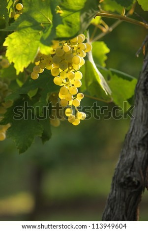 bunches of grapes at sunset