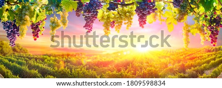 Bunches Of Grapes Hanging Vine Plant With Defocused Vineyard At Sunset