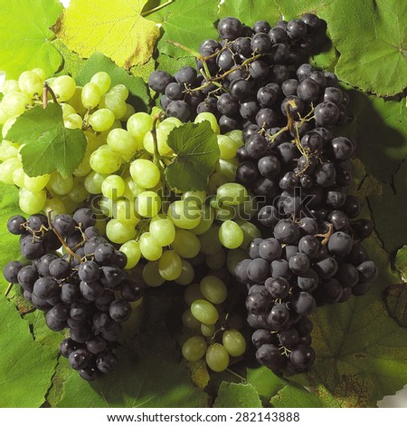Bunches of grapes on vine leaves