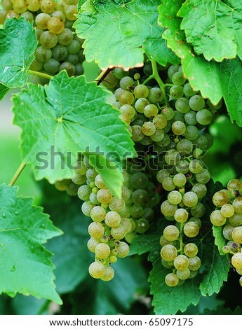 Bunches of green grapes hanging from vines