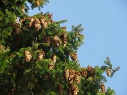 Bunches of last year's cones on the spruce.