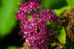 Bunches of pink flowers of a grassy sedum plant also known as Hylotelephium spectabile, an ice plant, a brilliant stonecrop and a gray-haired butterfly, depicted growing on a summer flowerbed