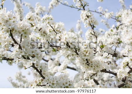 Bunches of plum blossom with white flowers against the blue sky