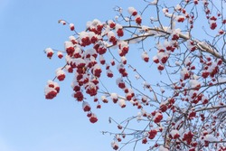 Bunches of red rowan berries in the snow on the branches in the winter garden, natural background.