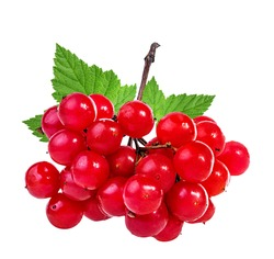 bunches of red viburnum on a white background