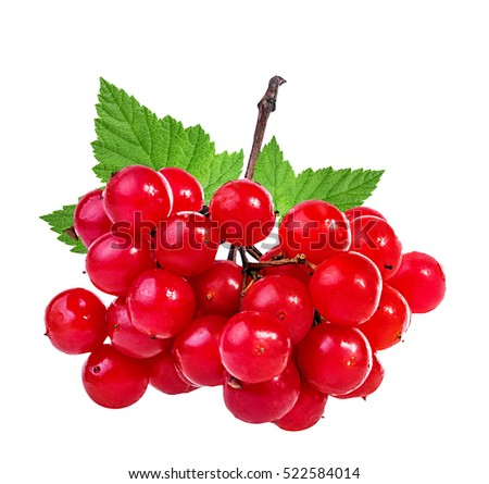 bunches of red viburnum on a white background #522584014