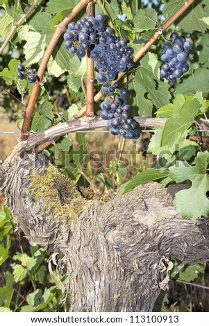 Bunches of Red Wine Grapes Hanging on Old Grapevines