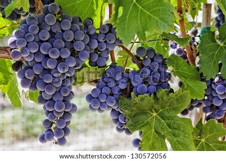Bunches of red wine grapes hanging on the wine in late afternoon sun